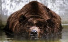 Grizzli bear