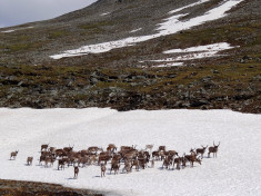 Reindeer standing on snow to avoid blood-sucking insects