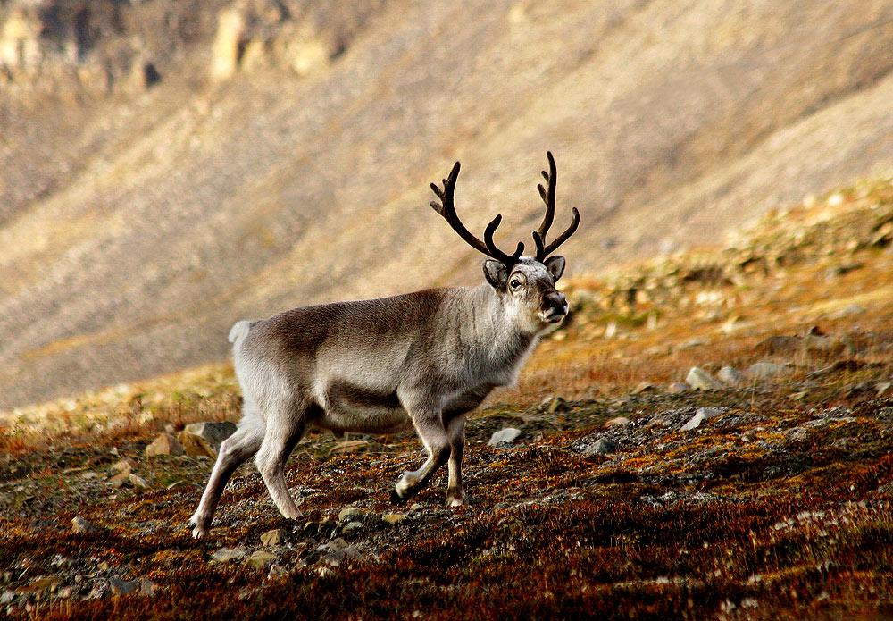 Reindeer from Svalbard