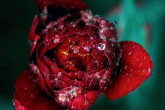 Morning dew on a rose