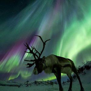 Reindeer under aurora