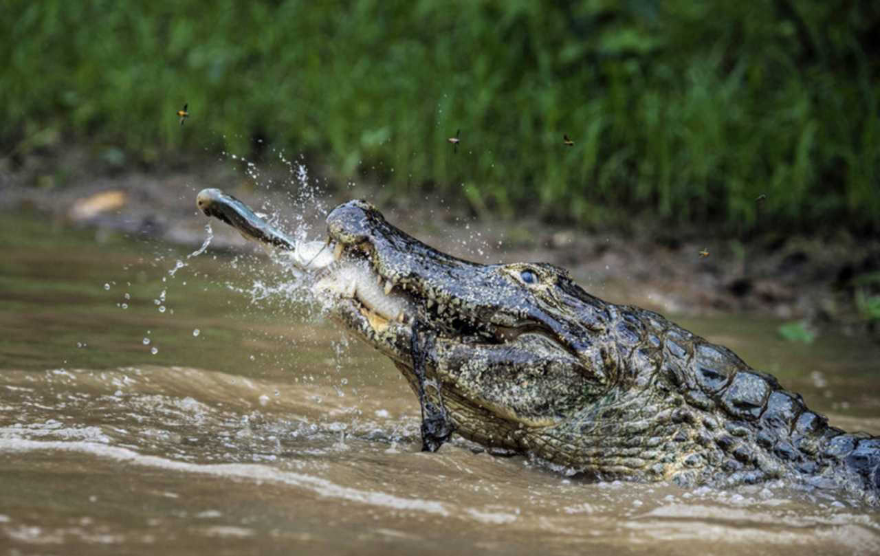 Alligator in Pantanal Brazil