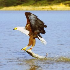 African fish eagle just caught a cat fish in Lake Baringo, Kenya
