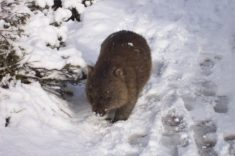 Culdle Moutain Wombat