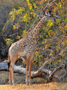 Rhodesian giraffe at South Luangwa National Park, Zambia