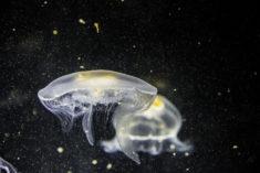 Jellyfish / méduses