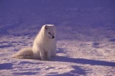 White fox