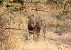 Asiatic lion.