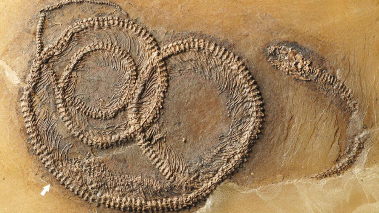 Incredible fossil of an insect eaten by a lizard, eaten by a snake