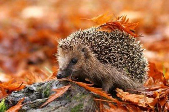 Hérisson l'automne
