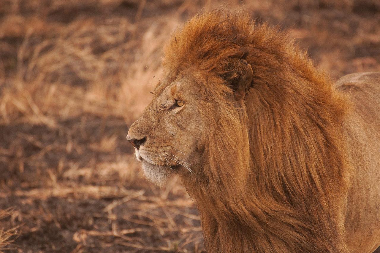 Lion, by Amar Yashlaha. Tanzania.