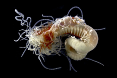Spaghetti Worm, Museum & Art Gallery of the Northern Territory (MAGNT)
