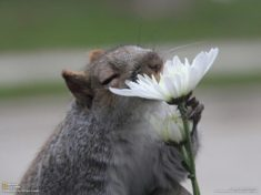 A squirrel smelling a flower