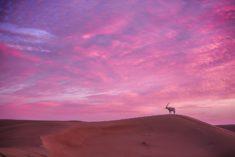 Arabian oryx, UAE