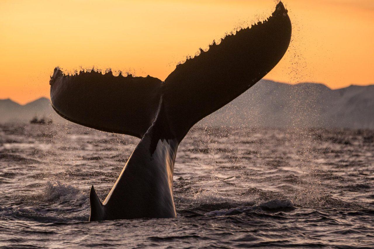 Échec de création d'un sanctuaire à cause des pays chasseurs de baleines – Les Baleines