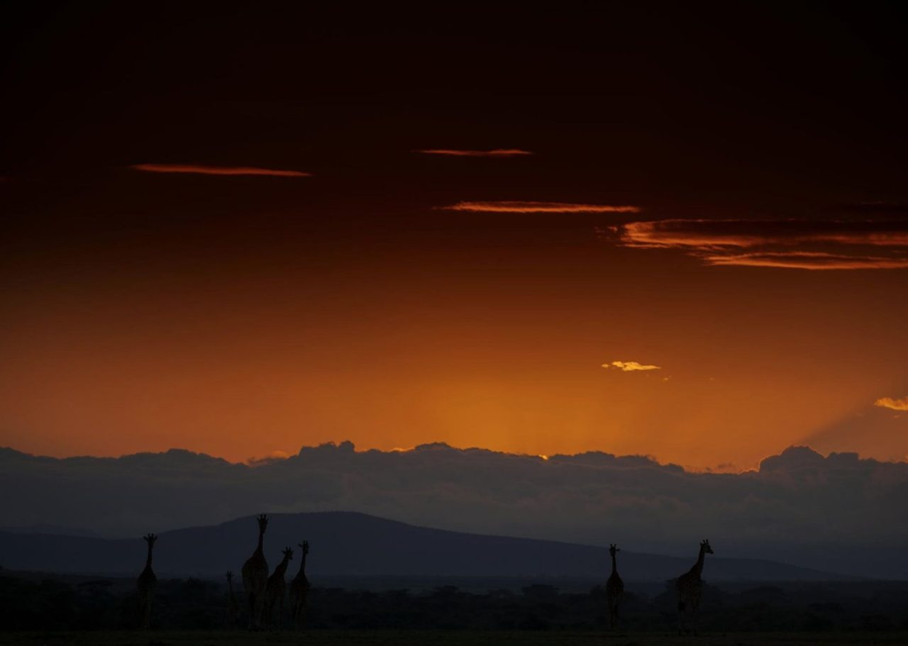 Giraffes in African sunset