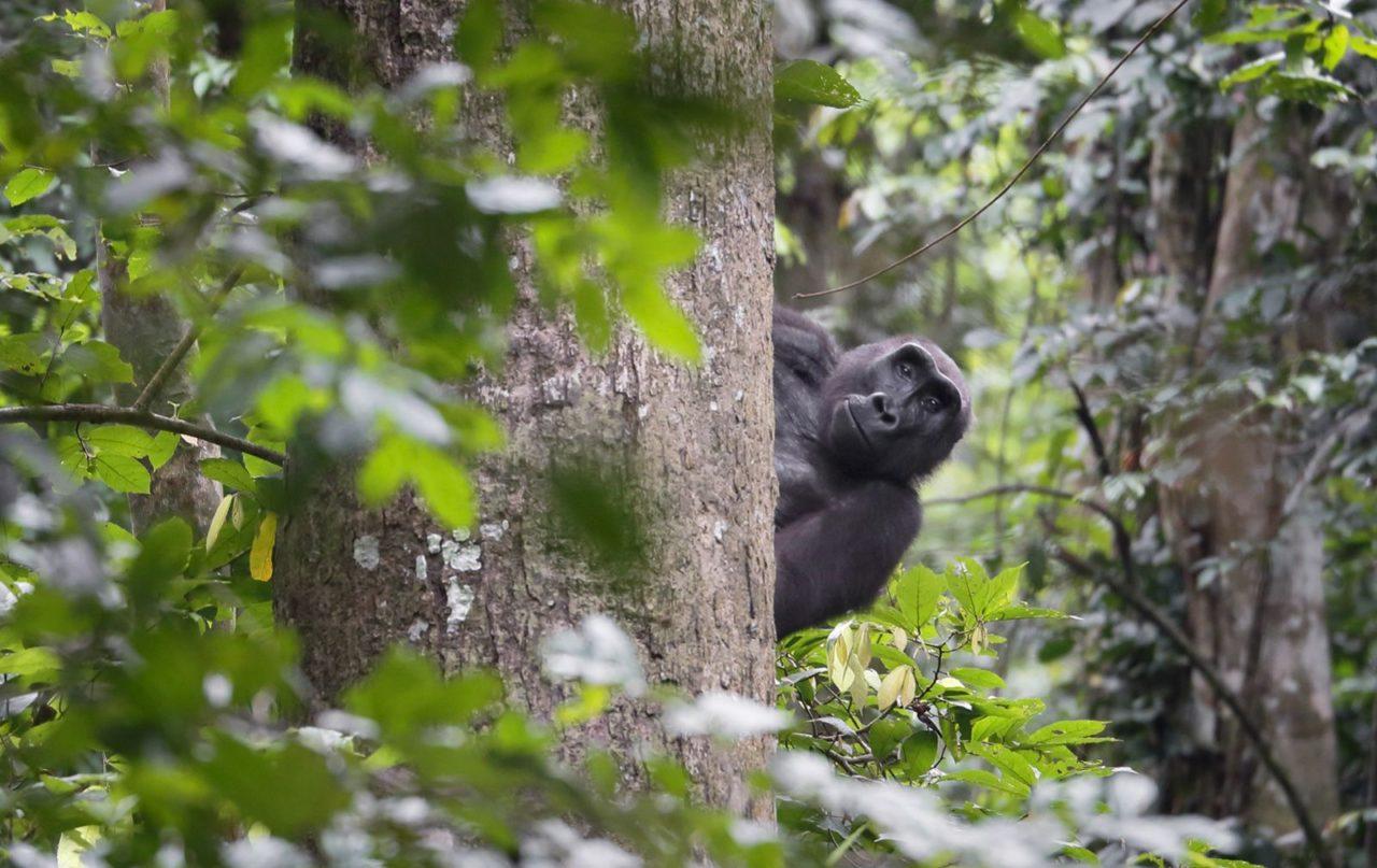 Gorilla, Gabon. Moukalaba-Doudou National Park. Photograph By David Korte.