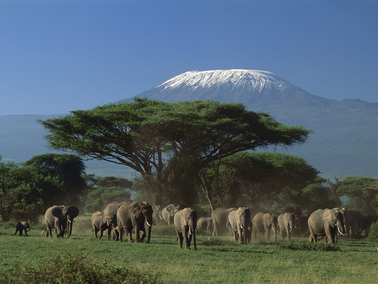 Elephants in the Kenyan savanna