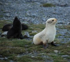 Leucistic Antarctic Fur Seal