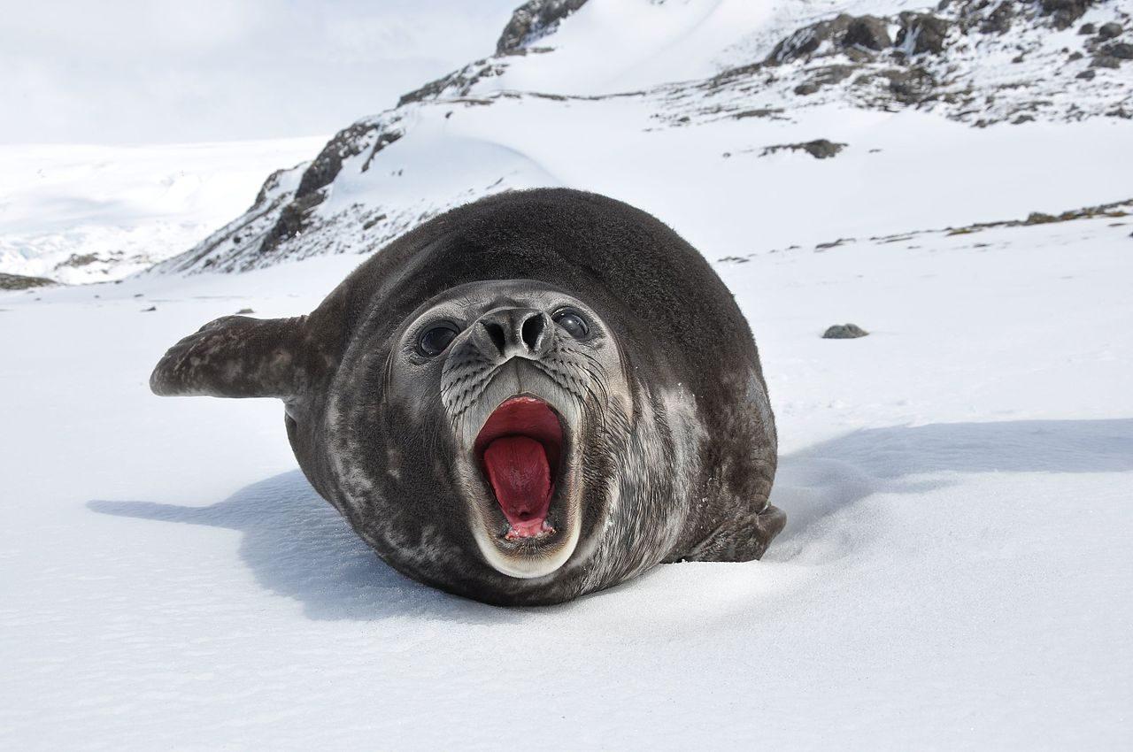 Southern elephant-seal (Mirounga leonina)