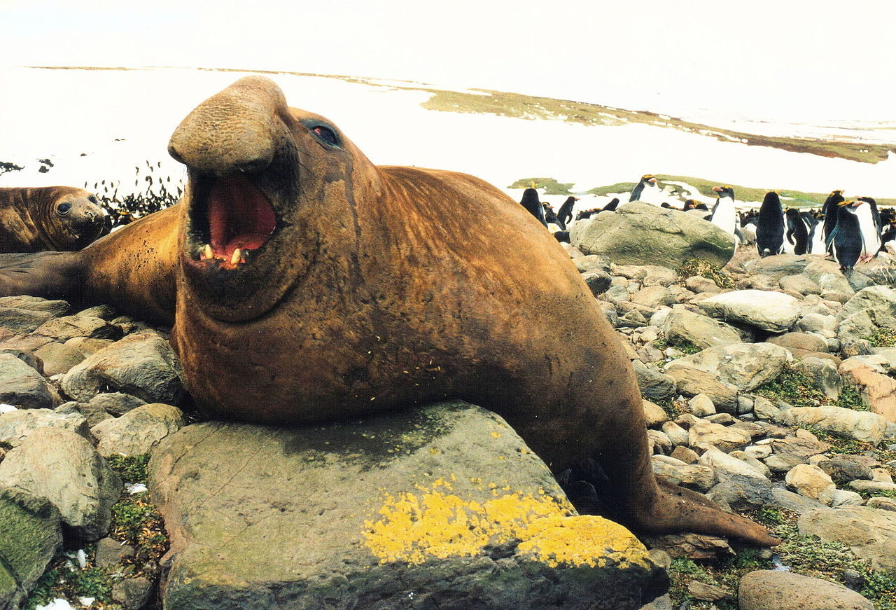Southern elephant-seal (Mirounga leonina) male on northern shore of Kerguelen Islands