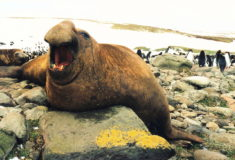 Southern elephant-seal (Mirounga leonina) male on northern shore of Kerguelen Islands