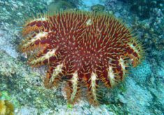 Acanthaster planci, destroying the Australian Great Barrier Reef.