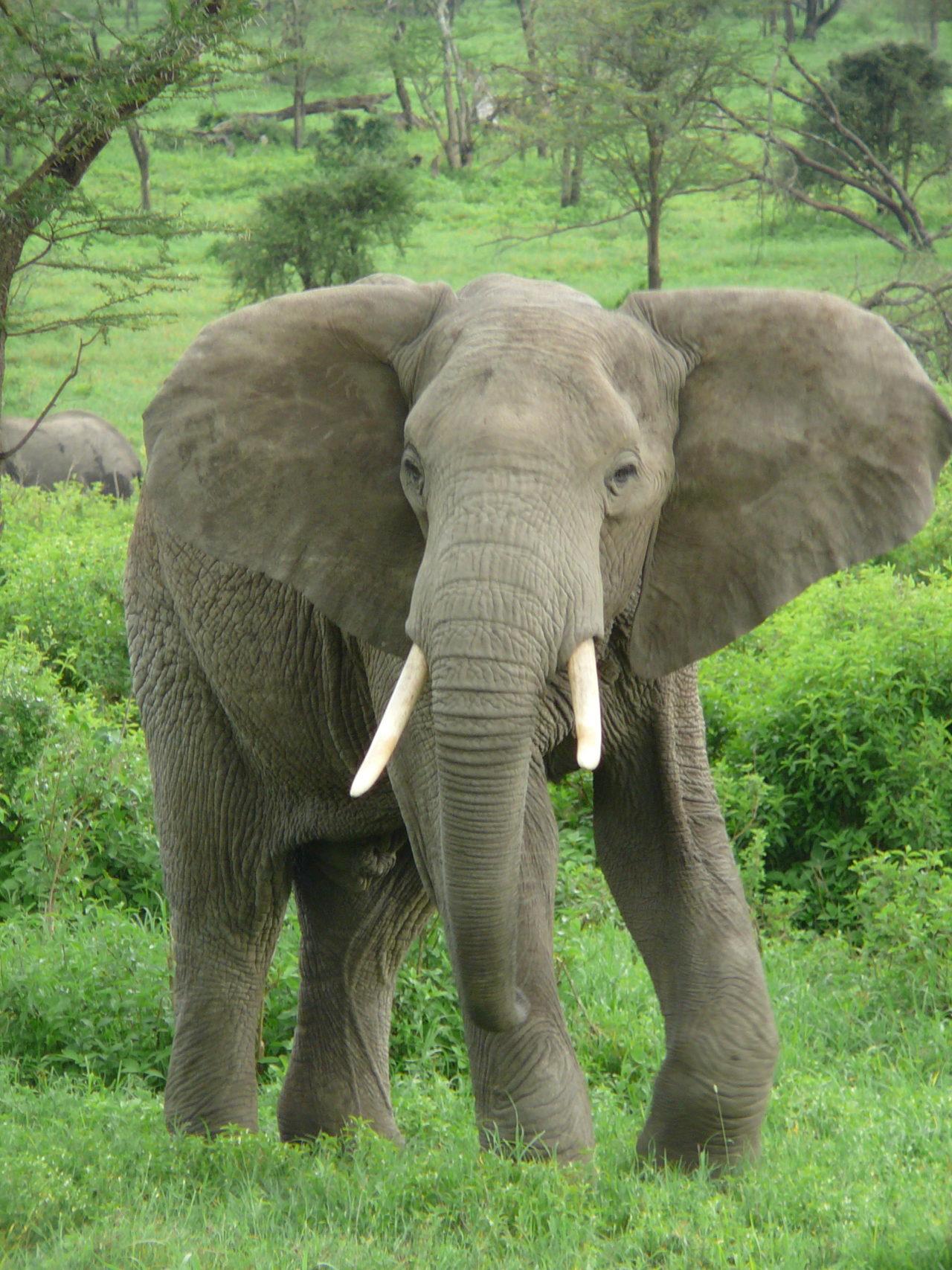 Elephant, Côte d'Ivoire (Ivory Coast)