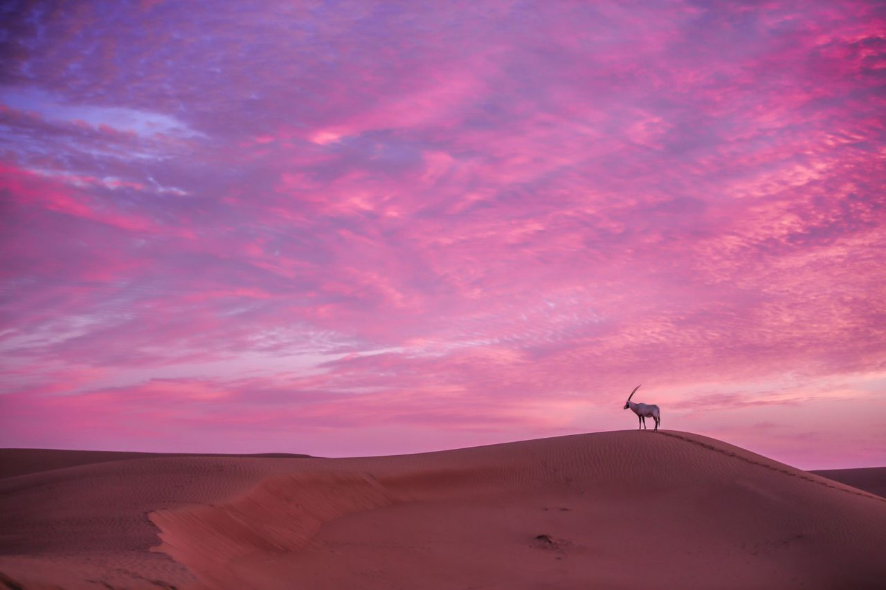Arabian oryx, UAE.