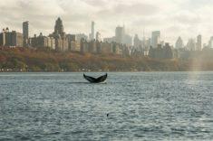 Une baleine à New York – Les Baleines