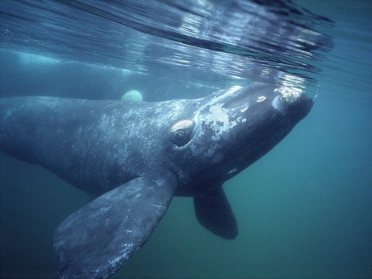 Greenland Whale