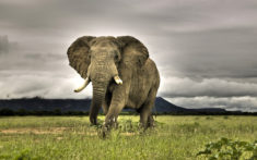 Elephant. Charging or not?