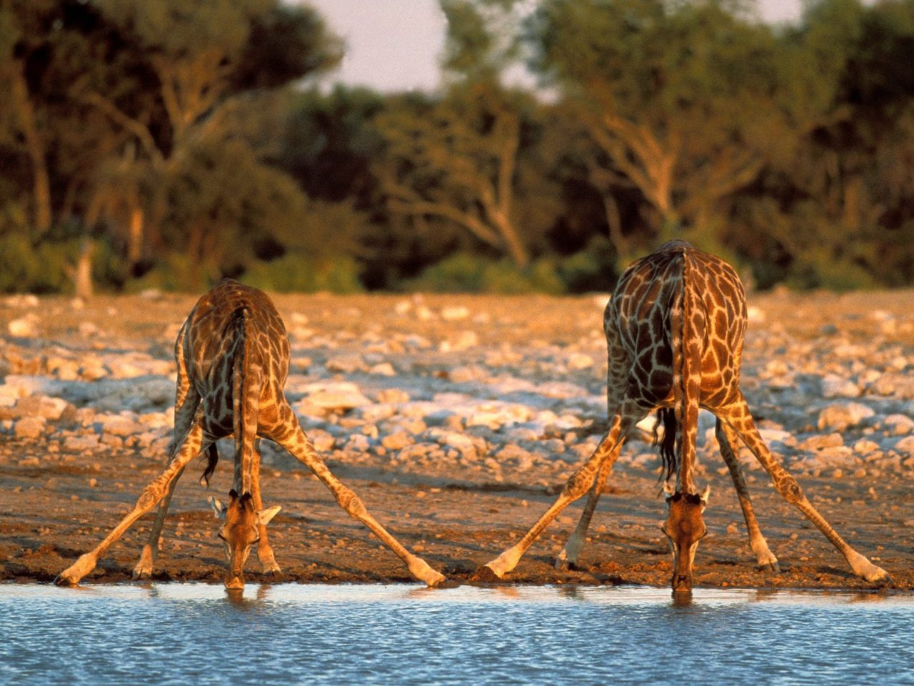 Giraffes drinking in an amazing position!