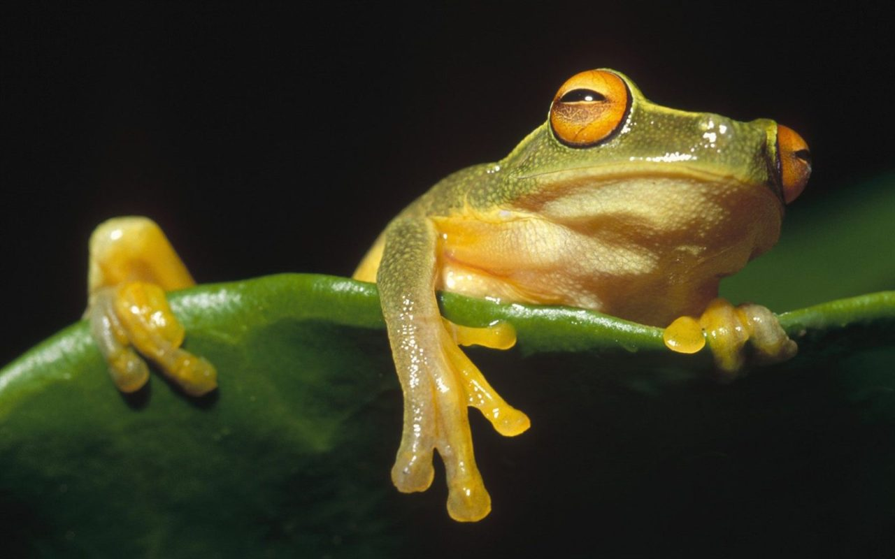 Frog in Papua New Guinea