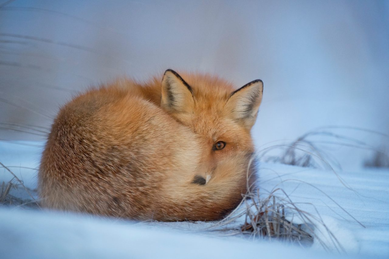 Fox, by Ray Hennessy