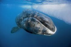 Baleine Boréale – Les Baleines