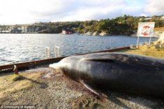 30 sacs en plastiques dans l'estomac d'une baleine – Les Baleines