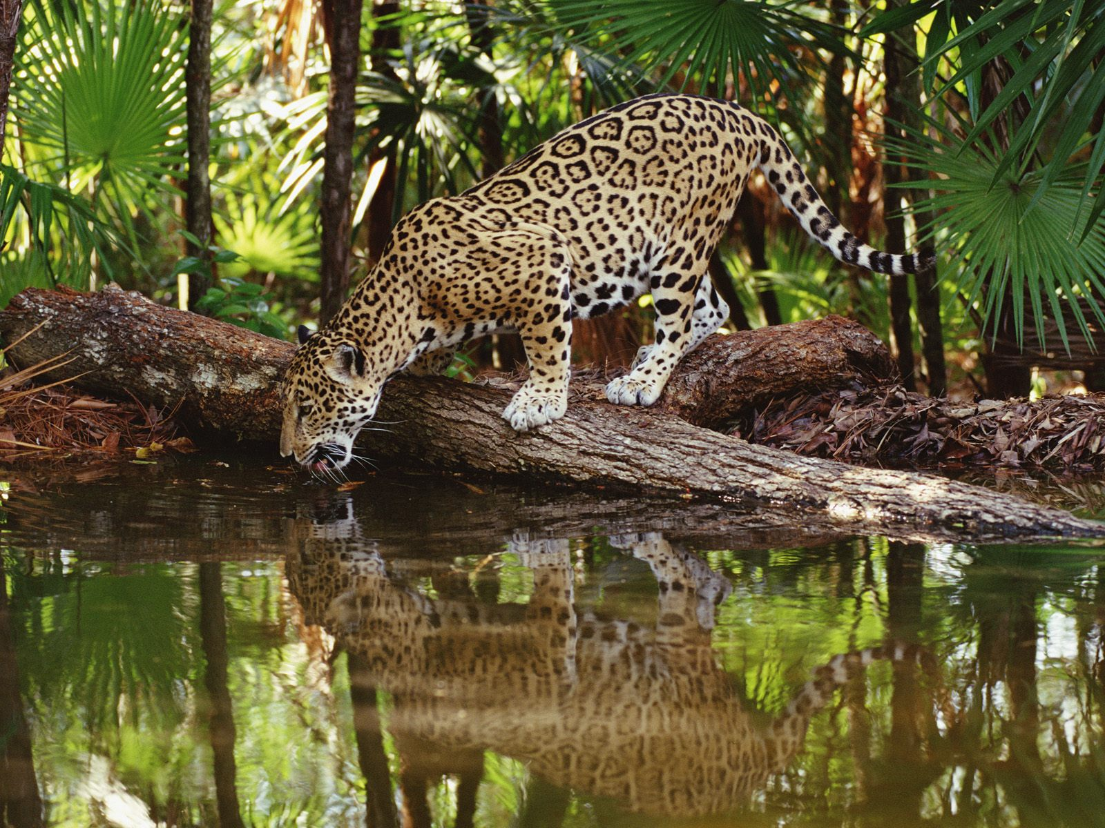 wildlife found in equatorial region There are so many animals that are found in the equatorial region some of the common ones include jaguar, green iguana, boa, chimpanzee, tiger, okapi and many more there are different animals that are found in the equatorial region.