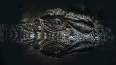 Alligator. He's watching you. Be careful!