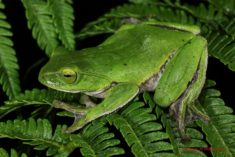 Okinawa green tree frog