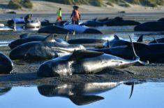 Comment expliquer les échouages massifs de cétacés ? – Les Baleines