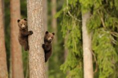 2 cubs climbing up a tree