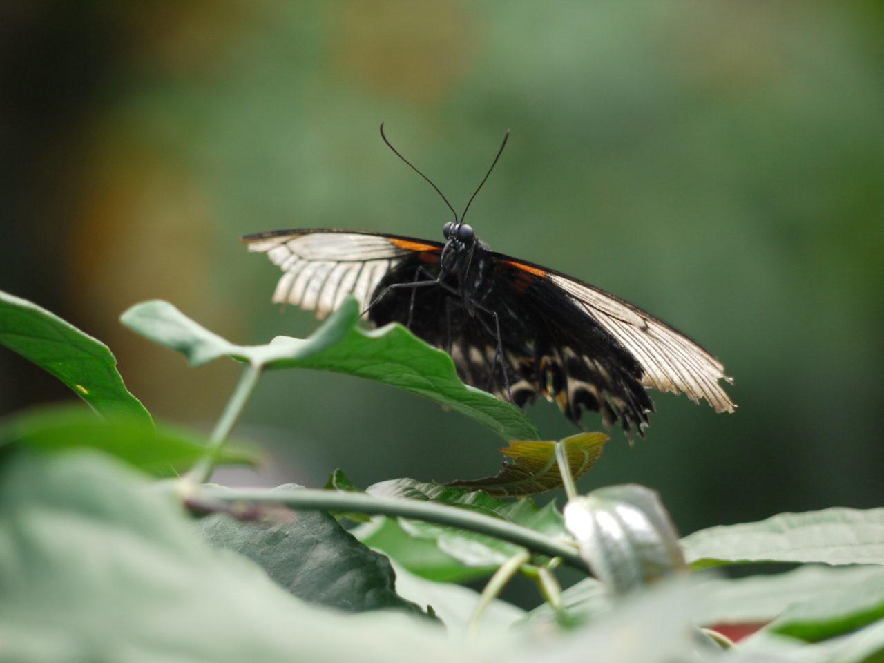 Papillon de face – Brut de Pomme
