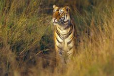A two-year-old Bengal tiger is seen in Bandhavgarh National Park in the Madhya Pradesh region of ...