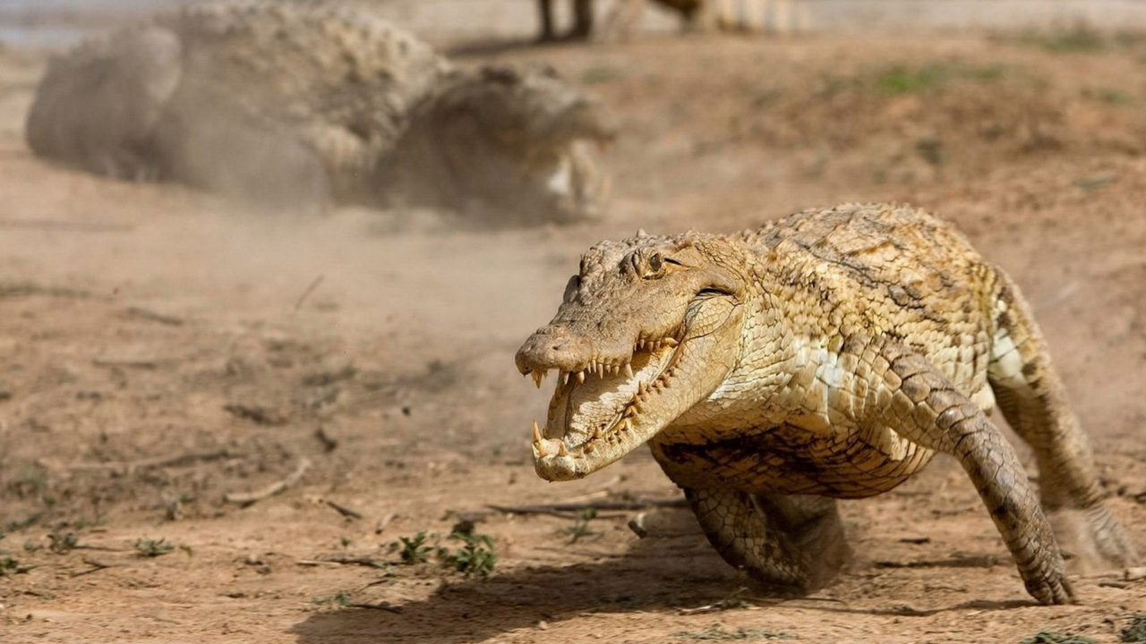Alligator running fast – Most Beautiful Picture of the Day: April 5, 2017 – Most Beautiful Picture