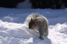 Ecureuil curieux – Brut de Pomme