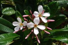 Fleurs de frangipanier, Hawaii – Brut de Pomme