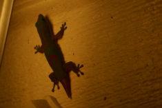 Gecko, Hawaii – Brut de Pomme