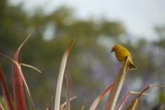 Oiseau jaune d'Hawaii – Brut de Pomme