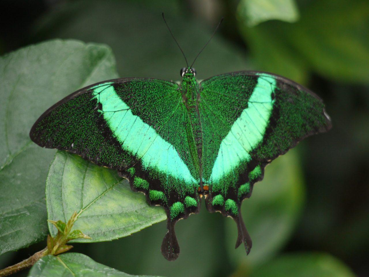 Papillon vert – Brut de Pomme
